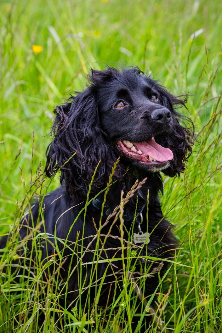 Dog Photography, Gundog Photography,