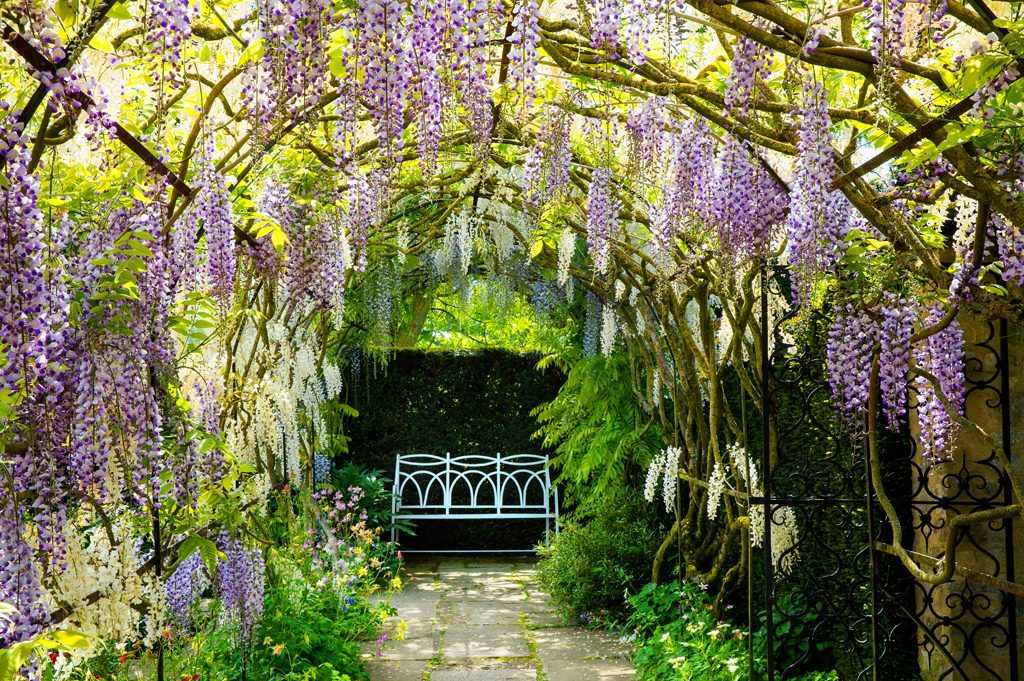 Wisteria Arch, Waterperry Gardens
