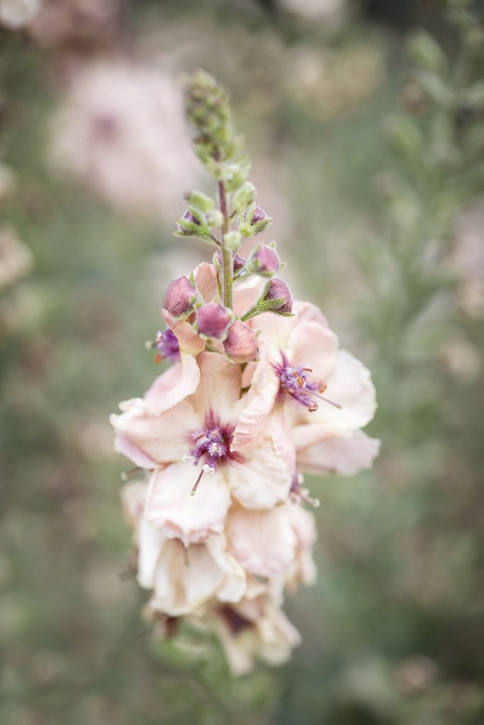 Verbascum Cotswold Beauty, Waterperry Gardens