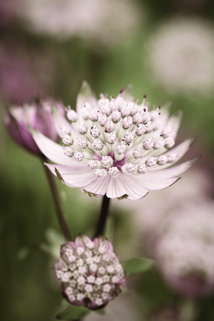 Astrantia, Waterperry Gardens