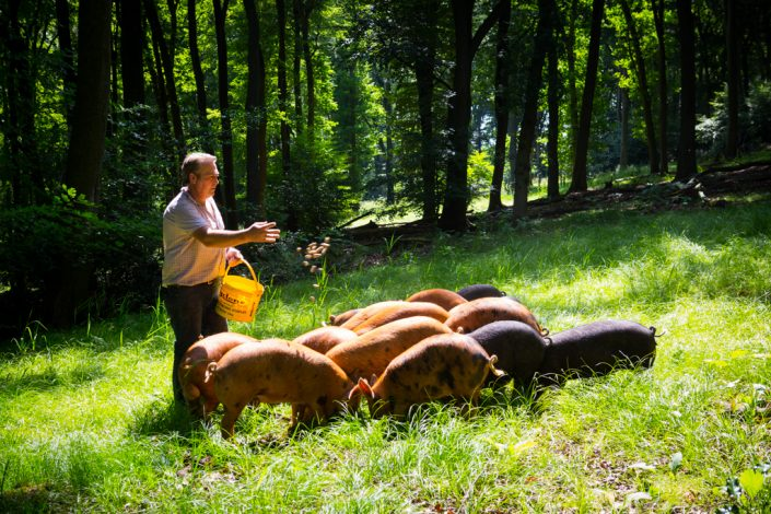 Farming photography, woodland pigs