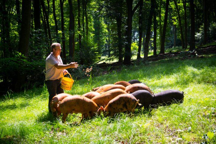 Farming photography, woodland pigs