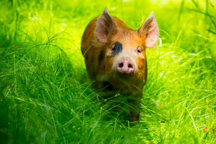 Farming photography, woodland pigs, Tamworth