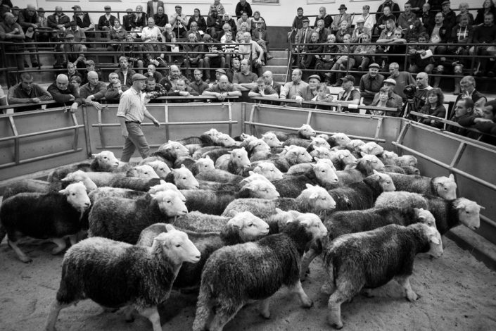Farming Photography, Princes Countryside Fund, Lake District, Herdwick, Cockermouth Sale