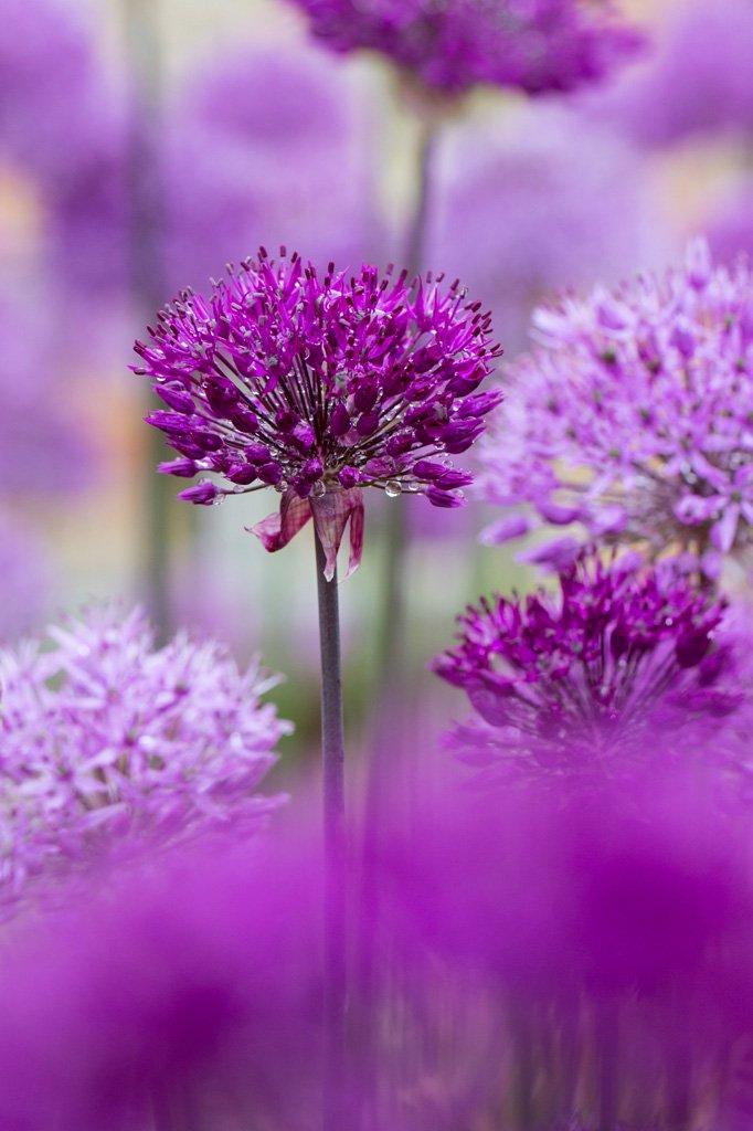Allium Garden Photography